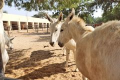 Horses/donkeys/mule at National Research Centre on Equines, Bikaner. Horses, donkeys and mule at National Research Centre on Equines, Bikaner. Main objectives of stock photo