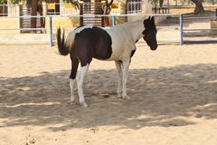 Horses/donkeys/mule at National Research Centre on Equines, Bikaner. Horses, donkeys and mule at National Research Centre on Equines, Bikaner. Main objectives of stock photos