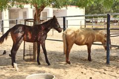 Horses/donkeys/mule at National Research Centre on Equines, Bikaner. Horses, donkeys and mule at National Research Centre on Equines, Bikaner. Main objectives of stock image