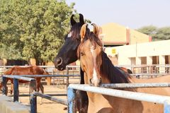 Horses/donkeys/mule at National Research Centre on Equines, Bikaner. Horses, donkeys and mule at National Research Centre on Equines, Bikaner. Main objectives of royalty free stock images