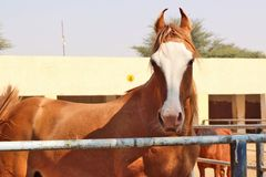 Horses/donkeys/mule at National Research Centre on Equines, Bikaner. Horses, donkeys and mule at National Research Centre on Equines, Bikaner. Main objectives of royalty free stock photo