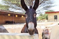 Horses/donkeys/mule at National Research Centre on Equines, Bikaner. Horses, donkeys and mule at National Research Centre on Equines, Bikaner. Main objectives of royalty free stock photos