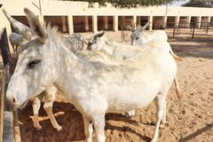 Horses/donkeys/mule at National Research Centre on Equines, Bikaner. Horses, donkeys and mule at National Research Centre on Equines, Bikaner. Main objectives of stock photography