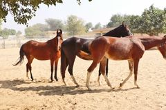 Horses/donkeys/mule at National Research Centre on Equines, Bikaner. Horses, donkeys and mule at National Research Centre on Equines, Bikaner. Main objectives of stock images