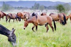 Horses Royalty Free Stock Photo