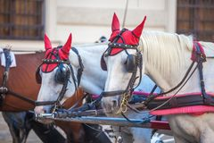 Horses for drawn carriage or Fiaker, popular tourist attraction, on Michaelerplatz in Vienna, Austria.  royalty free stock photo