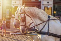 Horses for drawn carriage or Fiaker, popular tourist attraction, on Michaelerplatz in Vienna, Austria.  royalty free stock photography
