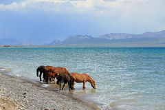 Horses drink from the lake Royalty Free Stock Photos