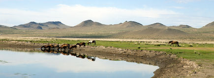 Horses Drink from a River Stock Photo