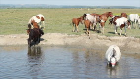 Horses drink water Royalty Free Stock Images