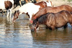 Horses drink water Royalty Free Stock Image