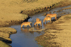 Horses drink water on river Stock Photos