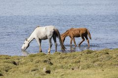 Horses drink water at Song Kul lake in Kyrgyzstan. Asia Stock Photography