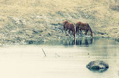 Horses drinking Stock Images