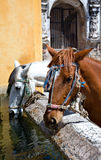 Horses Drinking in Antigua. Two horses take a break at the old watering hole in Antigua, Guatemala Royalty Free Stock Photos