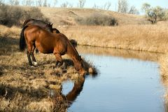 Horses Drinking At Creek Royalty Free Stock Images