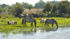 Horses drinking from a lake at fall royalty free stock image