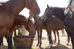 Horses drinking in pasture Royalty Free Stock Photography