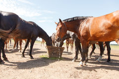 Horses drinking in pasture Royalty Free Stock Image
