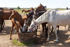 Horses drinking in pasture Stock Images