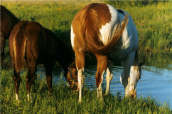 Horses Drinking at Pond. Paint mare and her chestnut colt drinking at pond in late afternoon, north Texas Royalty Free Stock Photo