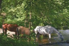 Horses drinking river water stock photography