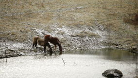 Horses drinking stock footage