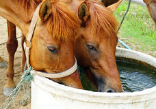 Horses drinking water Royalty Free Stock Photos