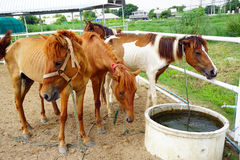Horses drinking water Royalty Free Stock Photography
