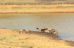 Horses drinking water on the lake Stock Photos