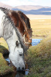 Horses drinking water in the mongolian prairie Royalty Free Stock Images