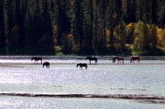 Horses. Drinking water of a mountain river Royalty Free Stock Photo