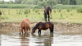 Horses drinking water Stock Images