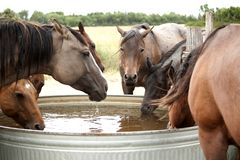 Horses drinking water from the tank. Herd of quarter horses drinking water from the water tank in the pasture stock photos
