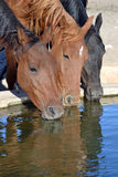 Horses drinking Stock Image