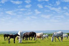 Horses drove on pasture. Nature scene with horses drove on pasture stock images