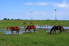 Horses And ducks In Dutch Landscape royalty free stock photo