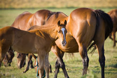 Horses at dusk Royalty Free Stock Photography