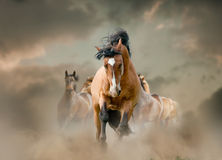 Horses in dust. Against the storm royalty free stock photo
