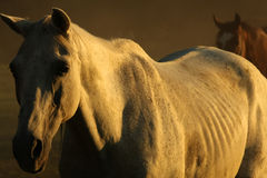 Horses in dust Royalty Free Stock Photo