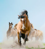 Horses in dust. Horses in a dust running wild Stock Photo