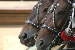 Horses on duty Stock Photography