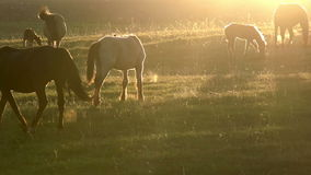 Horses in the early morning stock video footage