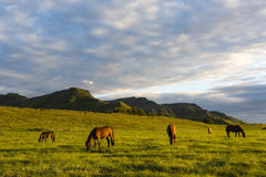 Horses in early morning light Royalty Free Stock Photo