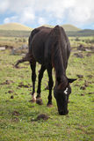 Horses on Easter Island Stock Photo