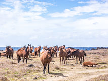 The horses of Easter Island Stock Photography
