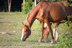 Horses. Eat grass in the field Stock Photo