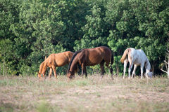 Horses. Eat grass in the field Stock Image