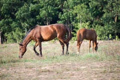 Horses. Eat grass in the field Royalty Free Stock Image