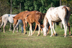Horses. Eat grass in the field Stock Photos